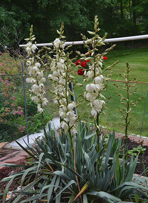 Yucca Plant in full bloom in Hudson Ohio Photo by Jacob Mathew