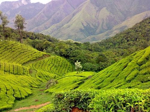Tea Gardens in Munnar, Kerala, India
