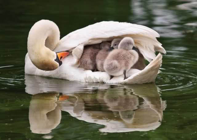 Mother Duck protecting her children