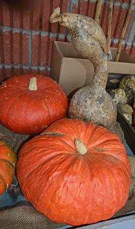 Pumpkins is Fall Photo by Dr. Jacob Mathew, Malankara World